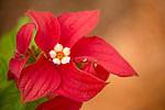 Ashanti Blood (Mussaenda erythrophylla) flower, Diyasaru Park, Colombo, Sri Lanka