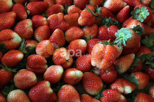 Strawberries are seen after harvest in Beit Lahia, in the northern Gaza Strip, on December 10, 2013. Some 250 acres of strawberry crop are cultivated in these fields yielding some 2500 tons of fruit, some of which will be exported to European countries, helping the stagnant economy of the enclave. Photo by Ashraf Amra