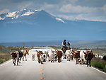 Driving the longhorn cattle to summer range in the Big Hole Valley, Montana, along SR 43 with Andy Baldauf, Dan Coon & Sandee Nelson pushing them north from Wisdom.