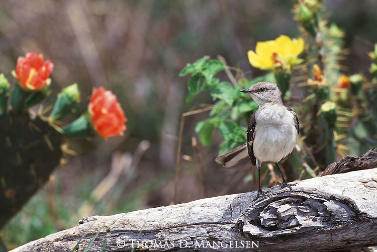 Northern Mockingbird among flowering cacti in South Texas.