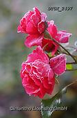 Gisela, FLOWERS, BLUMEN, FLORES, photos+++++,DTGK2497,#f#, EVERYDAY