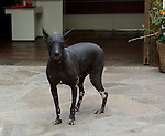 The Peruvian Hairless Dog is a breed of dog with its origins in Peruvian pre-Inca cultures. It is one of several breeds of hairless dog.