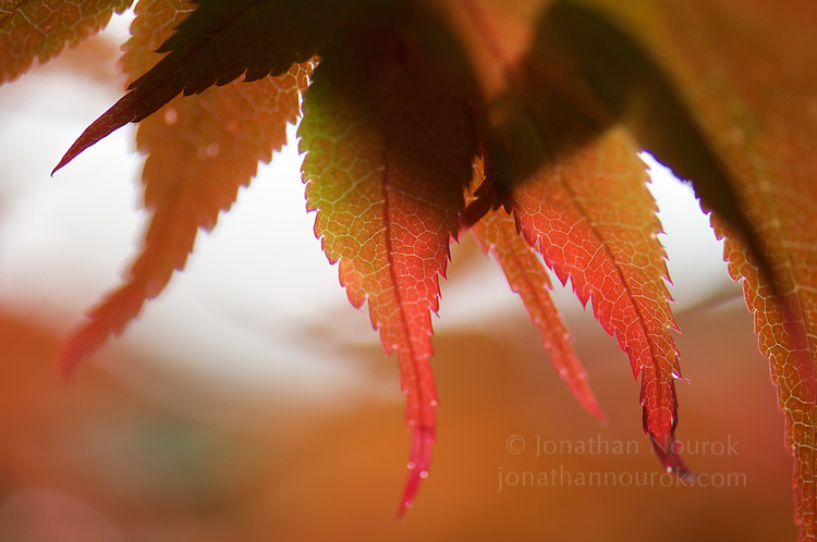 close-up of Japanese maple leaves changing color