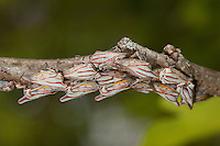 Oak Treehopper; Platycotis vittata; on white oak; NJ, Atlantic County, Dorothy Preserve