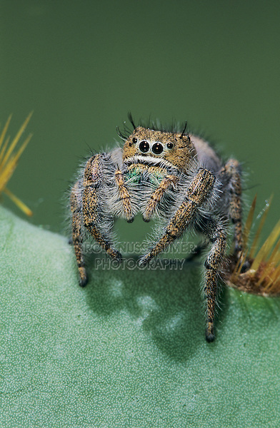 Jumping Spider, Salticidae, adult on Texas Prickly Pear Cactus (Opuntia lindheimeri) , Lake Corpus Christi, Texas, USA