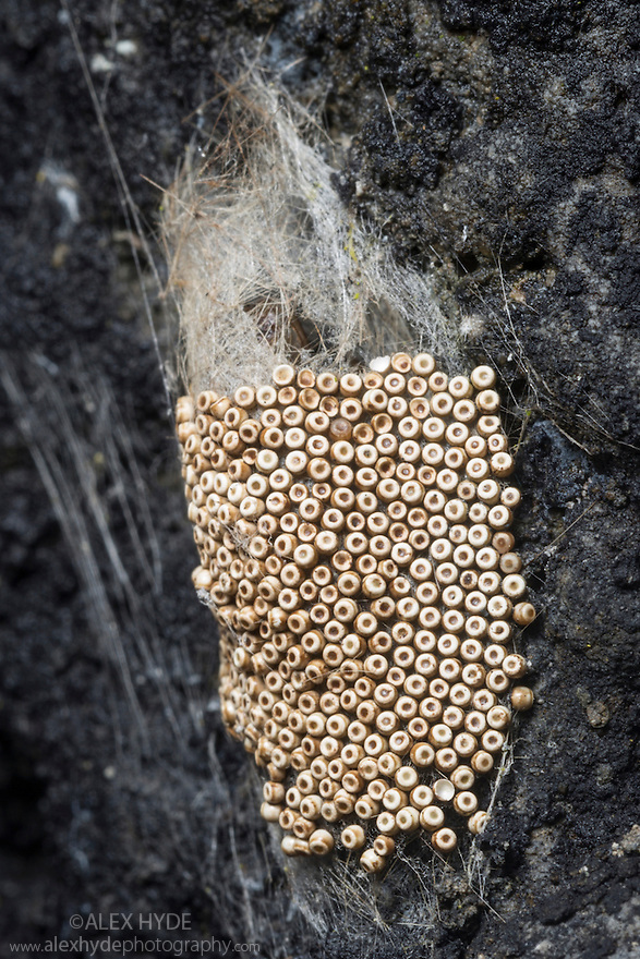 Common vapourer moth (Orgyia antiqua) eggs on surface of coccoon. Derbyshire, UK, April.