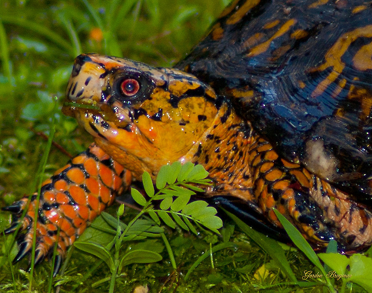 Colorful turtle moves right along.