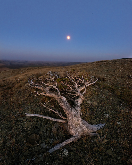 A gnarled old tree looks over a high plateau toward the rising moon.