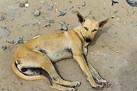 schlafender Hund, Boa Vista, Kapverden, Afrika