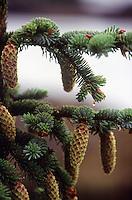 PINECONES<br /> Sitka Spruce Pine Cones<br /> Picea sitchensis