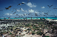 bird flock, Sooty Tern, Sterna fuscata, colony on Tern Island, French Frigate Shoals, Papahanaumokuakea Marine National Monument, Northwestern Hawaiian Islands, Hawaii, USA