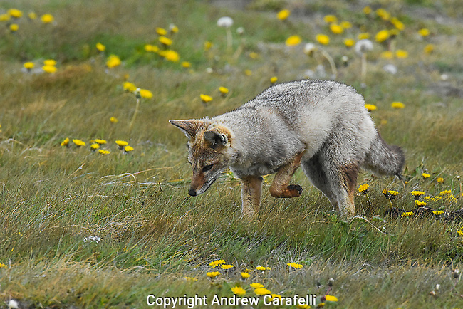 An Andean Gray Fox hunts for food in Tierra Del Fuego, Chile.