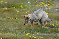 An Andean Gray Fox hunts for food in Tierra Del Fuego, Chile.