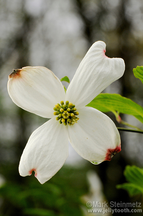 Close-up of a single Eastern Flowering Dogwood (Cornus florida). Dogwood is the state flower of North Carolina and Virginia. Franklin County, Ohio, USA.