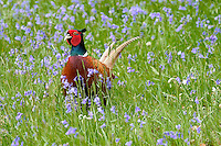 Pheasant Phasianus colchicus L 55-90cm. Male is colourful and unmistakable; female is also hard to confuse. Takes to the wing noisily and explosively when flushed. Sexes are dissimilar. Adult male typically has orange-brown body plumage, blue-green sheen on head, large and striking red wattle and long, orange barred tail; some birds have a white collar. Violet-blue birds are sometimes released. Adult female is mottled buffish brown with shorter tail than male. Juvenile resembles a small, short-tailed female. Voice Territorial male utters a loud, shrieking call, followed by bout of vigorous wing beating. In alarm, a loud ke-tuk, ke-tuk, ke-tuk is uttered as bird flies away. Status Introduced and established here since 11th Century. Widespread and commonest in wooded farmland. Observation tips Easy to find.