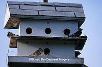 01269-00314 Purple Martins (Progne subis) at bird house Marion Co.   IL