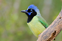 Green Jay (Cyanocorax yncas) of the northern subspecies C. y. glaucescense with crest raised. Hidalgo County, Texas. March.