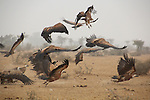 A group of vultures take flight on an misty morning in the desert of Rajasthan. Numbers of vultures have declined rapidly in India since the 1990's, thought to be due to residues of veterinarian drugs in animal carcasses. These drugs have since been banned.