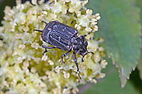 Stolperkäfer, Stolper-Käfer, Weibchen, Valgus hemipterus, Scarabaeus hemipterus, Blatthornkäfer, female, Scarabaeidae, scarab beetles