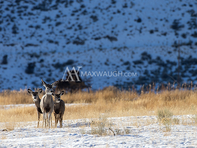 A trio of mule deer stick together near Yellowstone's northern border.