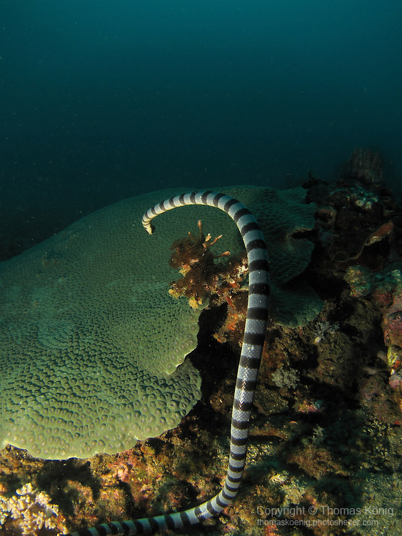 Kenting, Taiwan -- Banded sea krait vanishing into the depth.<br /> <br /> Sea snakes have a very potent venom that is more deadly than that of any land snake. The average-sized sea snake produces 10-15 mg of this venom, enough to kill 7-10 adult human beings!<br /> <br /> However, they are not aggressive towards divers and often even follow them around. A few fatalities are recorded every year, with the victims usually being fishermen who are careless when removing sea snakes entangled in their nets.<br /> <br /> Like their land-based brethren, sea snakes are air breathers, and as such have to periodically return to the surface. Little accurate data is available regarding how long they can stay submerged, but some experts believe they can stay under water for several hours at a time.