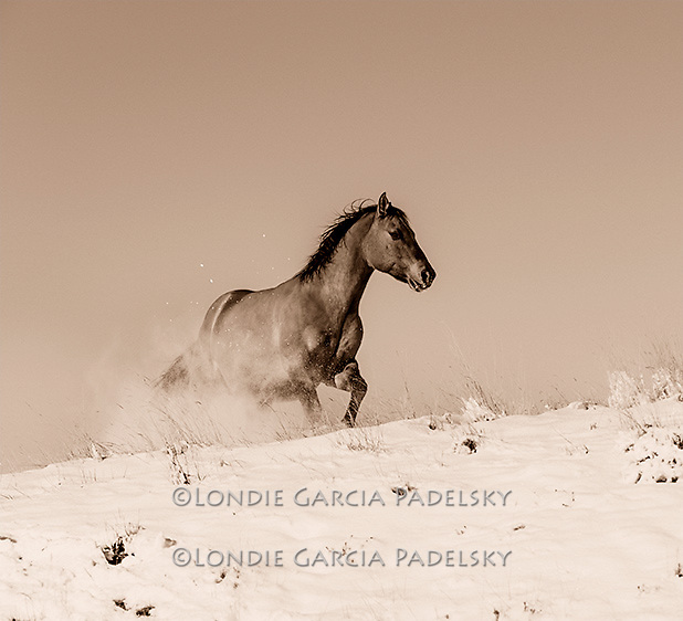 Horses running in snow, Central Montana<br /> Sepia Color