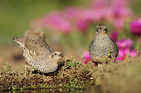 Scaled Quail (Callipepla squamata), pair drinking, Laredo, Webb County, South Texas, USA