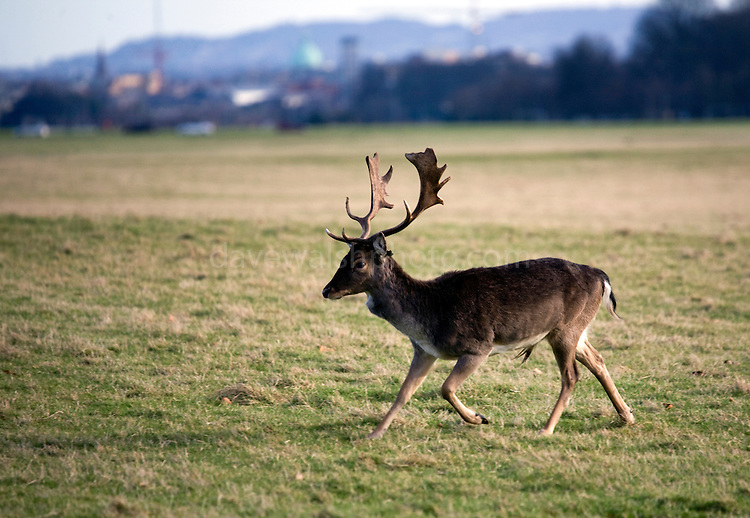 """Fallow Deer (Dama dama) stag running across the """"15 acres"""" in the Phoenix Park, Dublin. There's been a herd here since the 17th century. They live completely wild elsewhere in Ireland, and were introduced by the Normans in the 12th century."""
