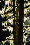 Moss hangs from tree branches in the Hoh Rainforest, Olympic National Park, Washington.