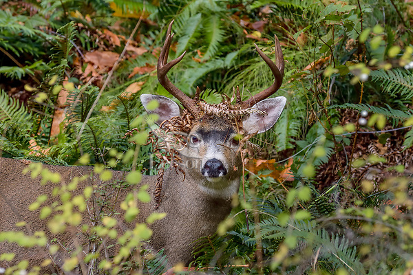 Coastal Black-tailed Deer Buck or Columbian black-tailed deer buck (Odocoileus hemionus columbianus).  Late Fall, Pacific Northwest.  He has picked up some old dead fern leaves while rubbing/thrashing the bushes with his antlers during the rut.