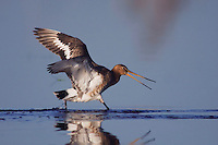 Black-tailed Godwit, Limosa limosa, adult in breeding plumage calling,National Park Lake Neusiedl, Burgenland, Austria, Europe