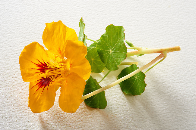 Fresh nasturtium flowers & leaves