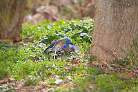 Territorial fight between two male Bluebirds, Lumberton, New Jersey