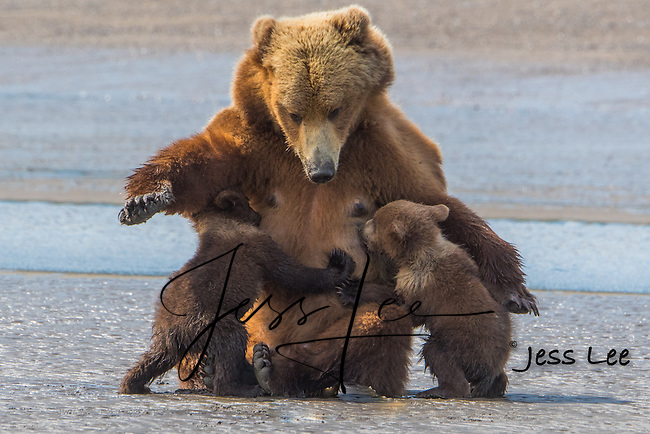 Brown bears nursing. Alaska Brown bears also known as Costal Grizzlies or grizzly bears