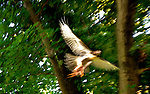 Redtailed Hawk takes off from Maple tree with it's rabbit kill.  July 15, 2011 copyright JimMendenhallPhotos.com 2011 20110715jmMPIVPlus hawkJam0228cc