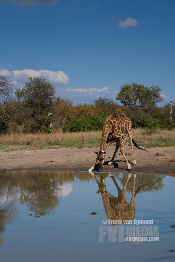 Giraffe (Giraffa Camelopardalis)..Giraffe drinking..June 2009, winter..Balule Private Nature Reserve, York section..Greater Kruger National Park, Limpopo, South Africa.