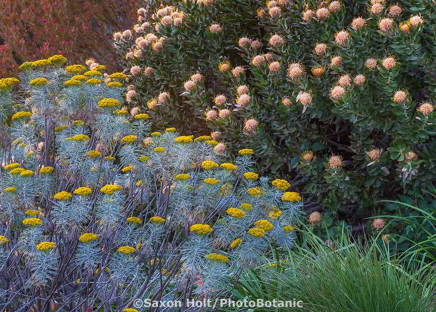 Athanasia acerosa, aka Phymaspermum acerosum; Coulter Bush from South Africa, gray foliage perennial, California garden