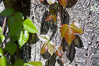 Poison Ivy Rhus radicans aka Toxicodendron in fall foliage autumn color climbing vine poisonous causes skin rash tripartate foliage