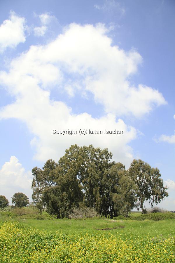 Golan Heights, Eucalyptus trees in Ein Fakhura
