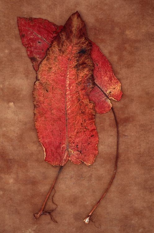 Two red leaves of Broad-leaved dock or Rumex obtusifolius lying on brown antique paper