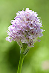Three-toothed orchid, Orchis tridentata, Lesvos Island Greece  , lesbos