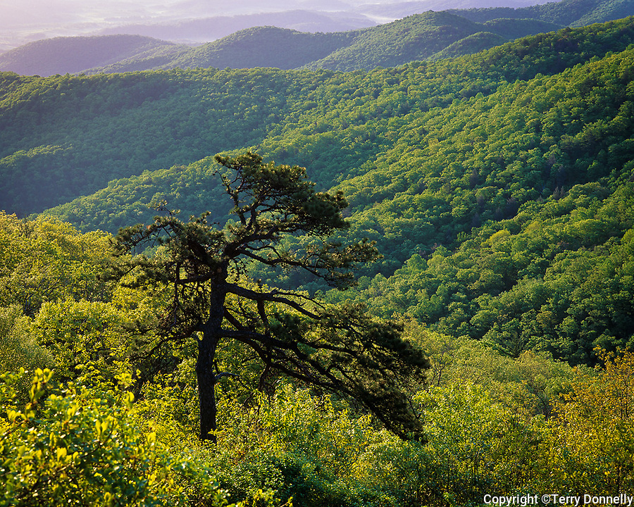 Shenandoah National Park, VA: View of spring forests on Applachian ridges - from Skyline Drive