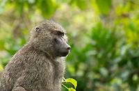 Female Olive Baboon, Papio anubis, in Arusha National Park, Tanzania