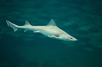 Nördlicher Glatthai, Weißgefleckter Glatthai, Gefleckter Glatthai, Glatthai, Hai, Haie, Mustelus asterias, stellate smooth-hound, starry smooth-hound, starry smooth-hound shark, stellate smooth-hound shark, shark, sharks, L'émissole tachetée