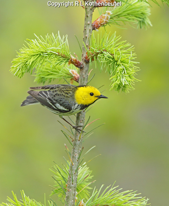 A striking male hermit x Townsends warbler hybrid displaying primarily hermit coloration. There is a slight olive cast to his upper back and some dark stripes on the sides  of his breast, evidence if Townsends in his pedigree.<br />