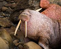 Walrus Odobenus rosmarus divergens Walrus Islands State Game Sanctuary Round Island Bristol Bay Alaska pinniped