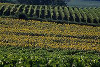 Europe/France/Aquitaine/47/Lot-et-Garonne/Buzet : Vignoble Côtes de Buzet