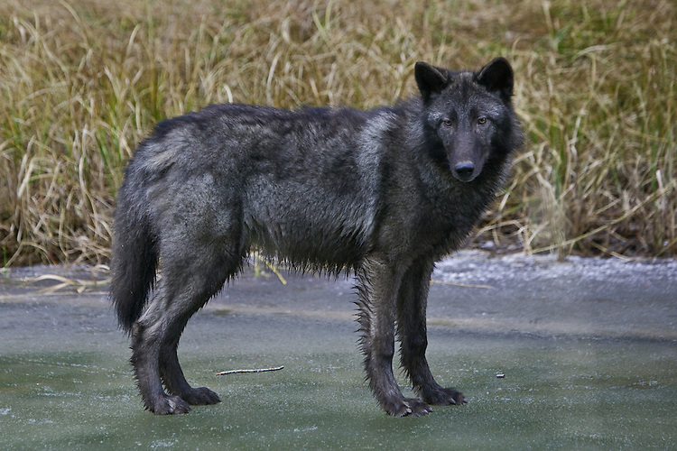 Grey Wolf standing on the edge of a frozen river - CA
