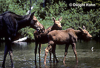 MS08-001z  Moose - young 1-2 months old with mother at Baxter State Park - Alces alces