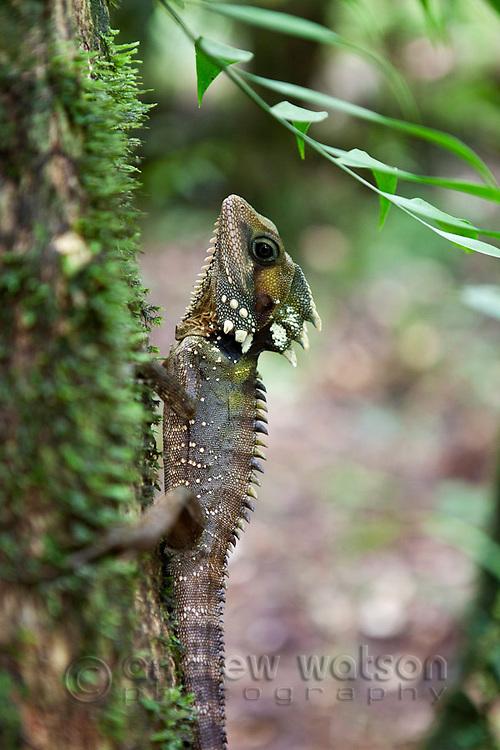 Boyd's Forest Dragon (Hypsilurus boydii) at Mossman Gorge in Daintree National Park.  Mossman, Queensland, Australia